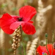 Remembrance Day 11 November 1918