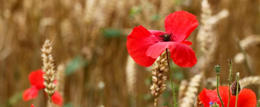 Poppy for remembrance day.